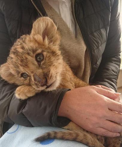 ライオンのカーリー